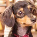 犬に必要な葉酸量はどのくらいか?もし過剰摂取したらどうなる?