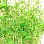 豆苗の栄養がすごい!豆苗がビタミン類を多く含む理由